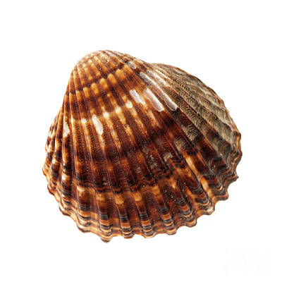 Brown Cockle Shell Poster