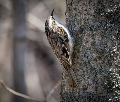 Poster featuring the photograph Brown Creeper  by Ricky L Jones