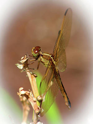 Brown Dragonfly Poster by Olahs Photography