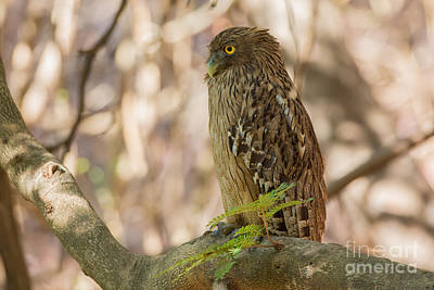 Brown Fish Owl, India Poster
