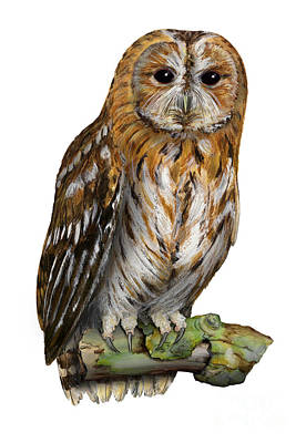 Poster featuring the painting Brown Owl Or Eurasian Tawny Owl  Strix Aluco - Chouette Hulotte - Carabo Comun -  Nationalpark Eifel by Urft Valley Art
