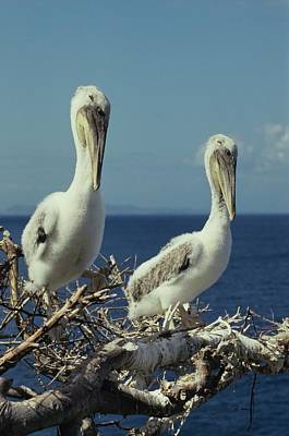 Brown Pelican Chicks In Nest  Poster