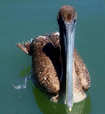 Brown Pelican Poster by Debra Forand