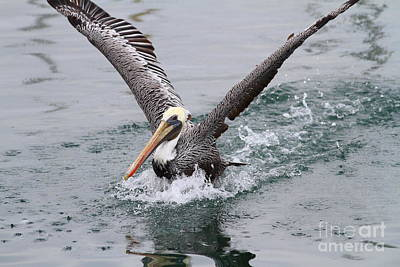 Brown Pelican Landing On Water . 7d8372 Poster by Wingsdomain Art and Photography