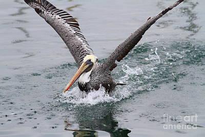 Brown Pelican Landing On Water . 7d8372 Poster