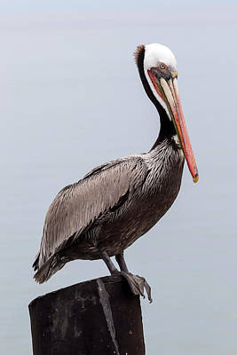 Brown Pelican On Guard Poster by Shawn Jeffries