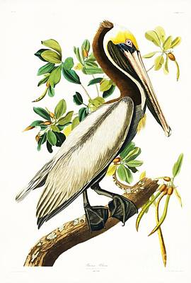 Brown Pelican Poster by Pg Reproductions