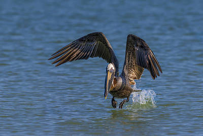 Brown Pelican Taking Off Poster