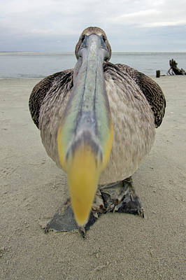 Brown Pelican Wide Angle Closeup Poster by Dustin K Ryan