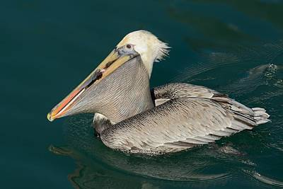 Poster featuring the photograph Brown Pelican With A Mouth Full by Bradford Martin