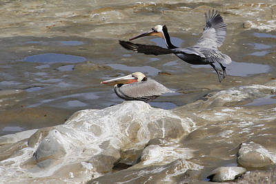 Brown Pelicans At La Jolla Cove Poster by Jan Cipolla
