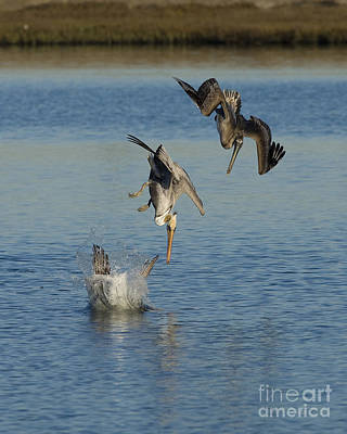 Brown Pelicans Plunge Feeding Poster by Marie Read