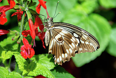 Brown Swallowtail Butterfly Poster
