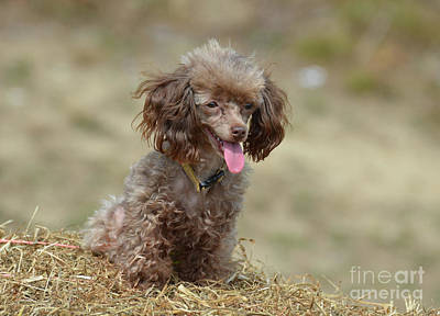 Brown Toy Poodle On Bail Of Hay Poster