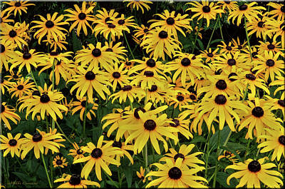 Browneyed Susans Poster by Mikki Cucuzzo