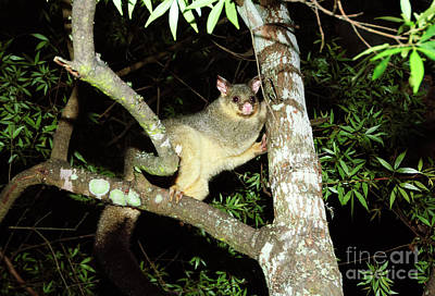 Brushtail Possum Poster by Genevieve Vallee