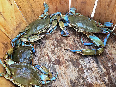 Poster featuring the photograph Bucket Of Blue Crabs by Jennifer Casey