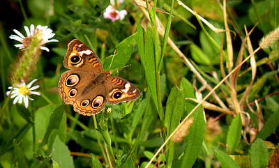 Poster featuring the photograph Buckeye Butterfly In Nature by Rosalie Scanlon
