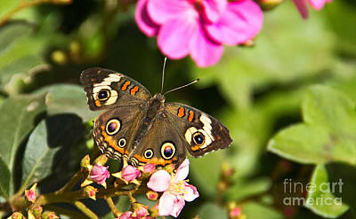 Buckeye Butterfly Poster by Kelly Holm