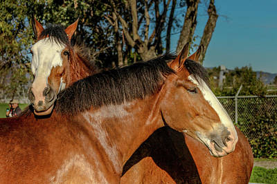Poster featuring the photograph Budweiser Clydesdales  by Bill Gallagher