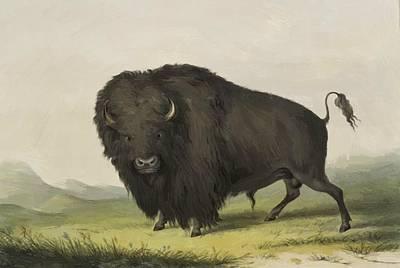 Buffalo Bull Grazing 1845 Poster