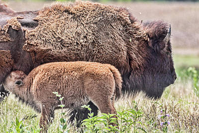 Buffalo Calf And Proud Mom Poster