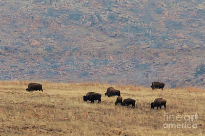 Buffalo Grazing On The Prarie Poster by Richard Smith