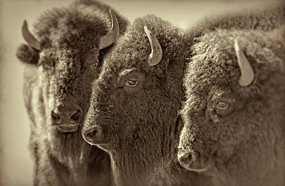Poster featuring the photograph Trio American Bison Sepia Brown by Jennie Marie Schell