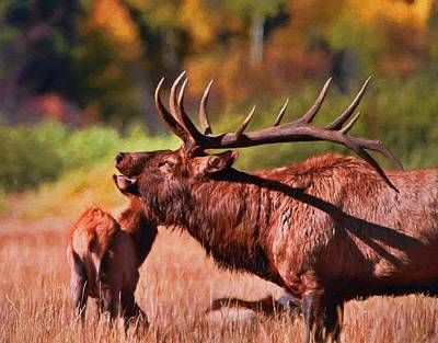 Bugling Elk In Autumn Poster