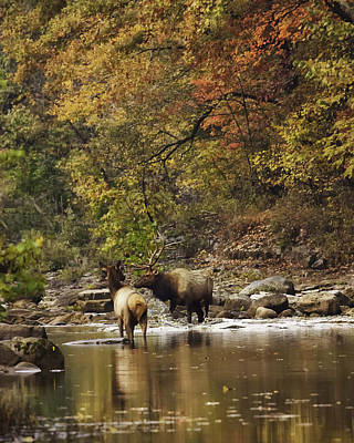 Bull And Cow Elk In Buffalo River Crossing Poster by Michael Dougherty