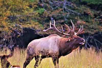 Bull Calling His Herd Poster