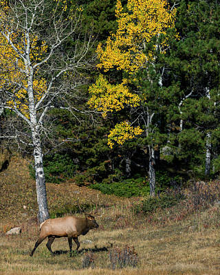 Bull Elk And Fall Colors Poster by Gary Langley