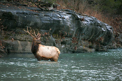 Poster featuring the photograph Bull Elk Crossing The Buffalo River by Michael Dougherty
