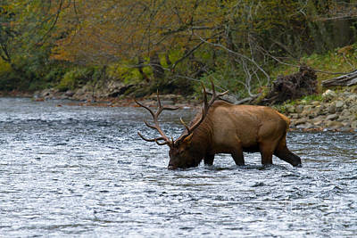 Bull Elk Crossing The River Poster