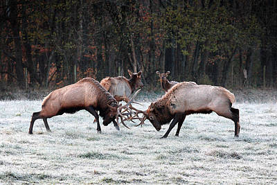 Bull Elk Fighting In Boxley Valley Poster by Michael Dougherty