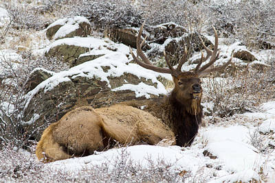 Bull Elk Lounging Poster by Scott Nelson