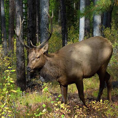 Bull Elk On Signal Mountain Poster