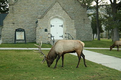 Bull Elk On The Church Lawn Poster