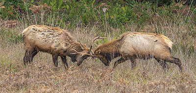 Bull Elk Sparring Poster by Loree Johnson