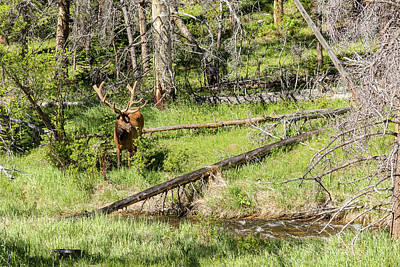 Bull Elk Velvet Poster