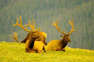 Bull Elks In Velvet Poster by Jeff Swan