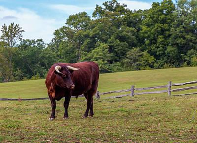 Bull In Field Poster