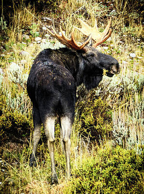Bull Moose Poster