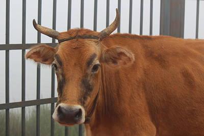 Bull With Eyebrows, Kodaikanal Poster by Jennifer Mazzucco