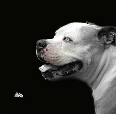 Bulldog Sando  Portrait  Poster