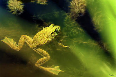 Bullfrog In A Pond Poster
