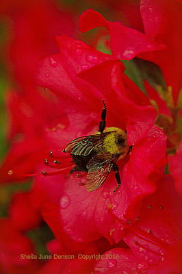 Bumble Bee In Red Poster by Sheila June Denson