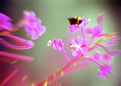 Bumble Bee On Wildflower Poster