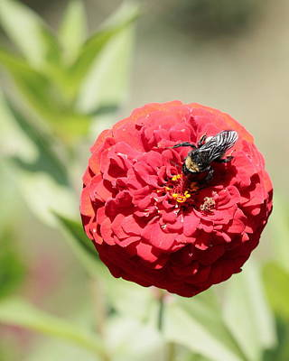Bumble Bee On Zinnia Poster