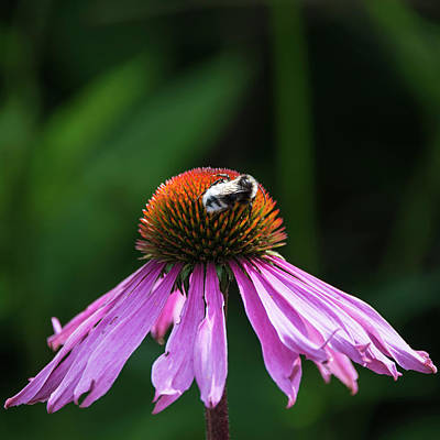 Bumble Bee Pollenating On Echinacea Pallida Cone Flower In Summe Poster